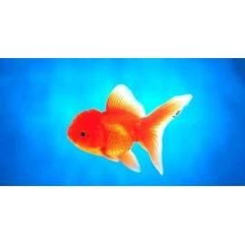 Oranda Rojo 5-6 cm